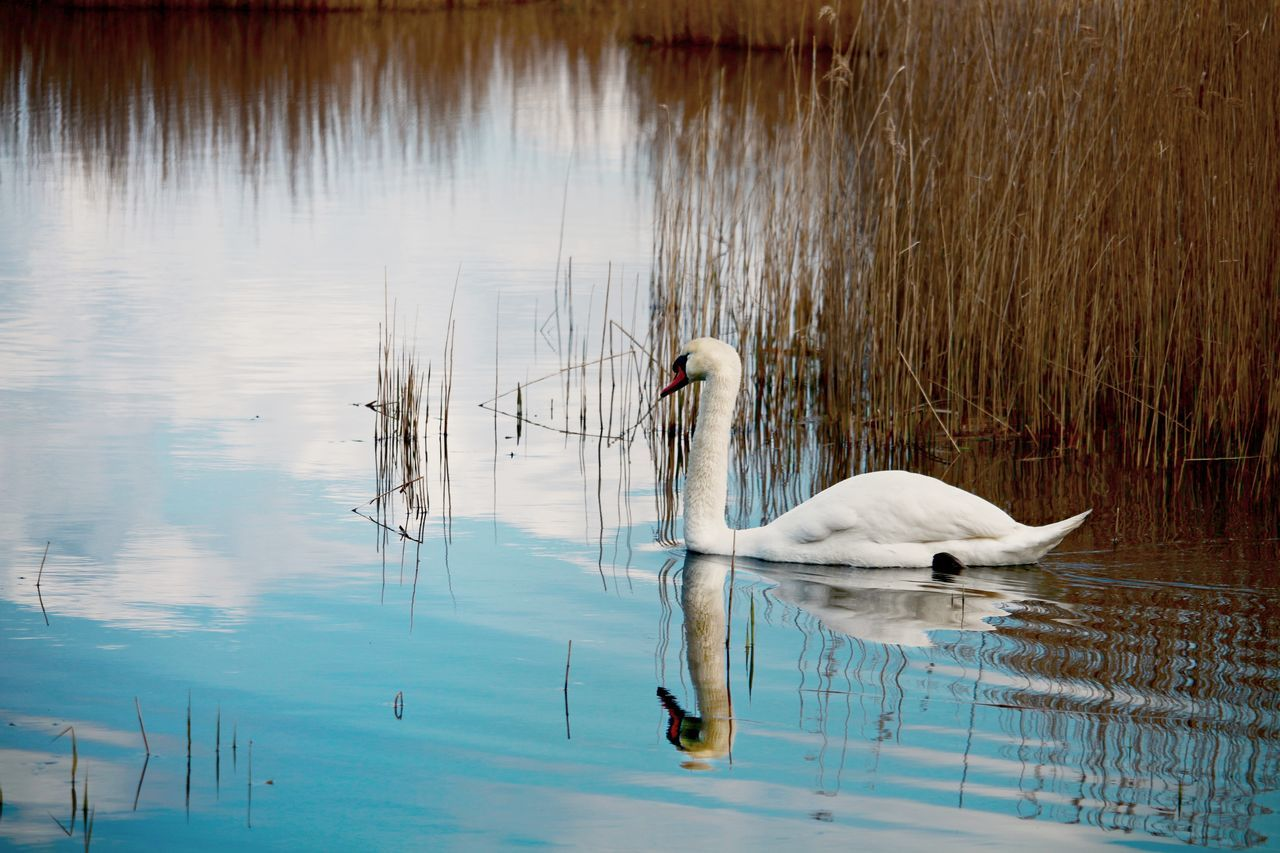 lake, animal themes, water, animals in the wild, swan, swimming, bird, water bird, reflection, day, waterfront, no people, nature, floating on water, one animal, outdoors, animal wildlife, grass, black swan