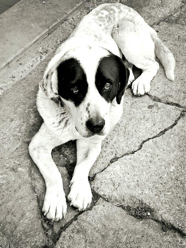 Dog Panda Monochrome Photography Safuca Dog Whiteandblack
