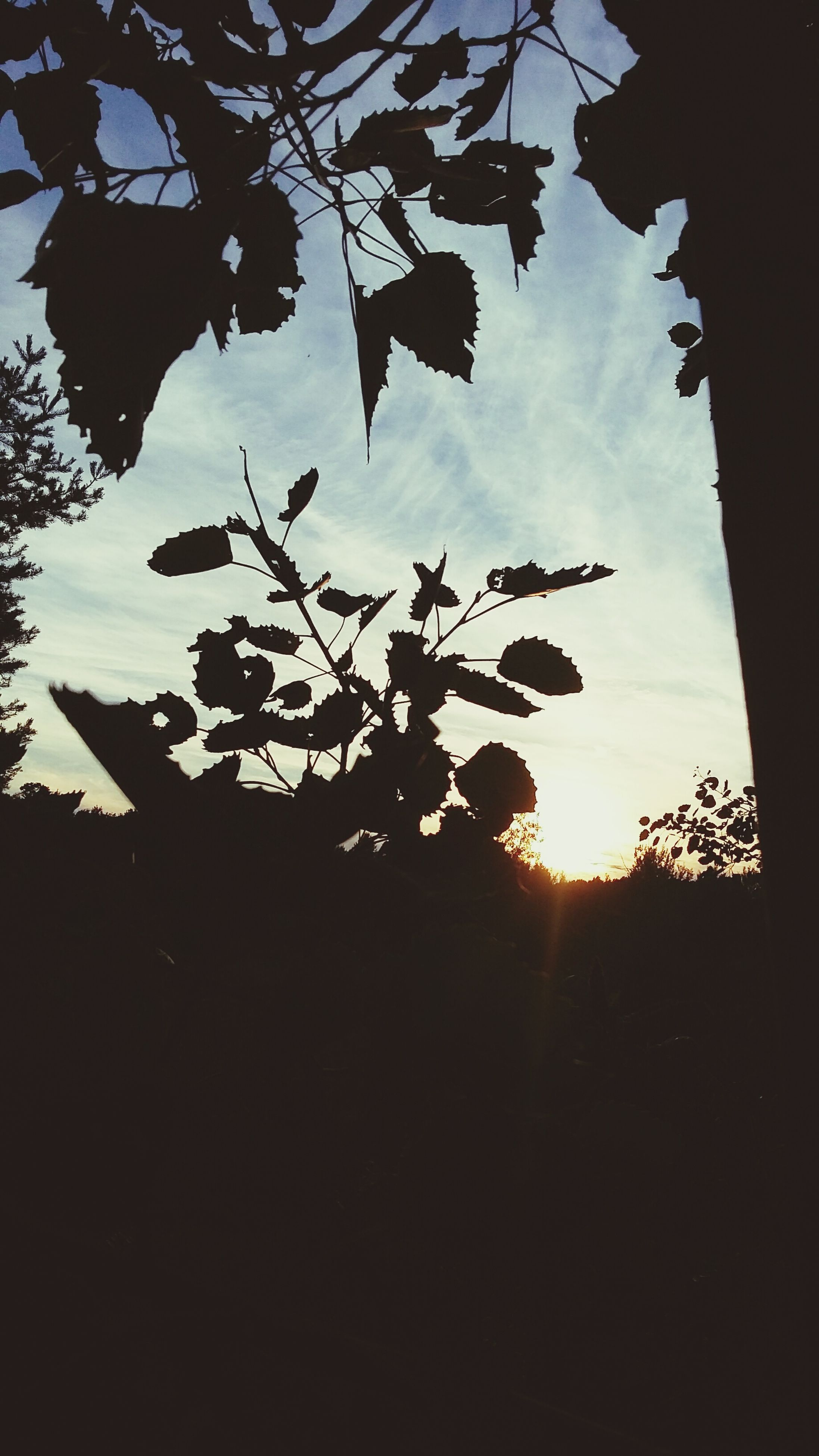 silhouette, tree, leaf, branch, growth, sunset, sky, scenics, tranquil scene, tranquility, beauty in nature, nature, plant, sun, dark, outline, outdoors, leaves, back lit, majestic