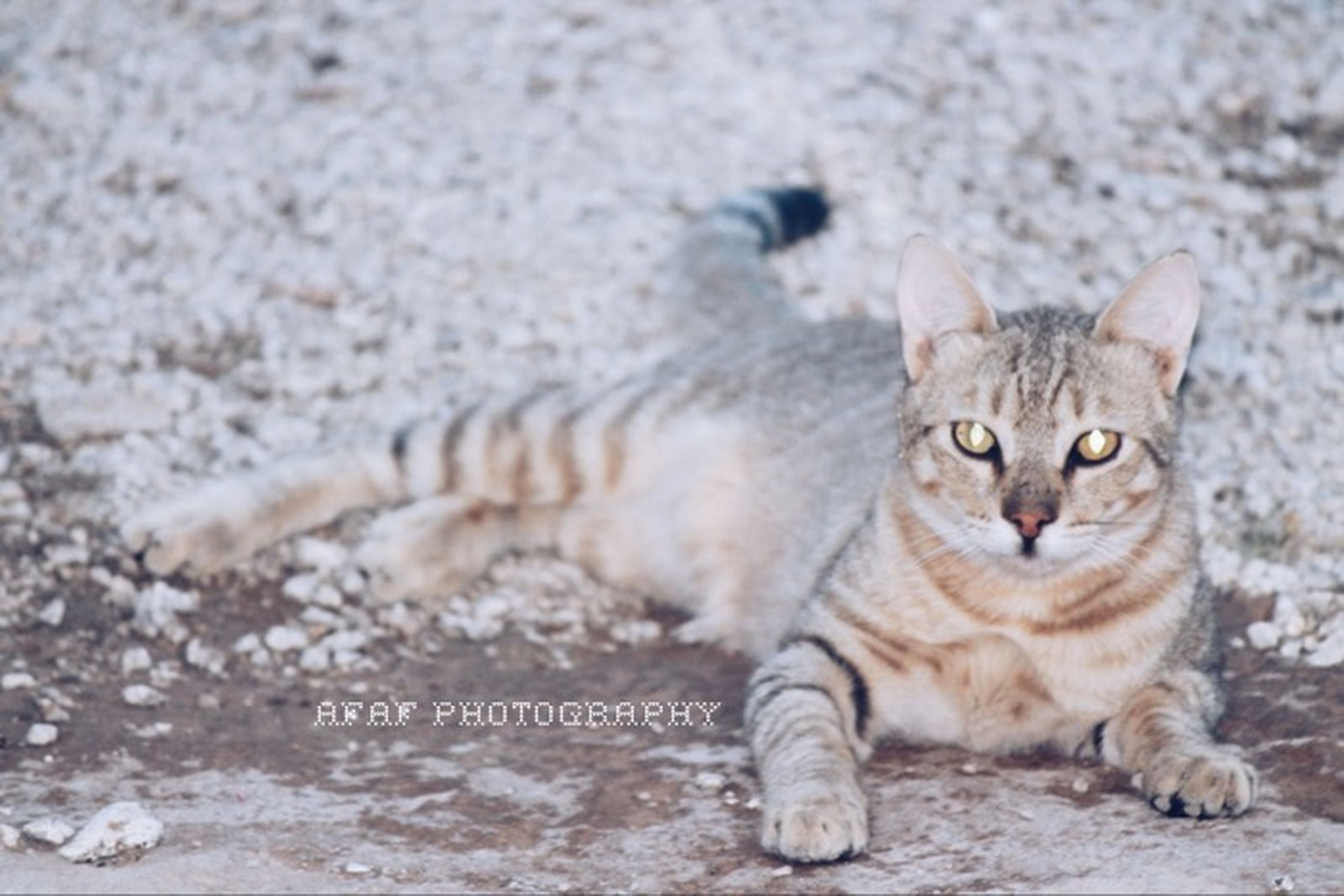 domestic cat, cat, pets, feline, animal themes, domestic animals, mammal, one animal, portrait, looking at camera, whisker, relaxation, lying down, sitting, alertness, staring, close-up, two animals, front view