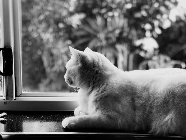 Cat looking out window Blury Background Garden Background IPhone 7 Plus Iphone 7 Plus Portrait Mode Depth Effect Gold Coast Australia Cat Pets One Animal Animal Themes Domestic Animals Mammal Looking Through Window Sitting Indoors  No People Day Close-up