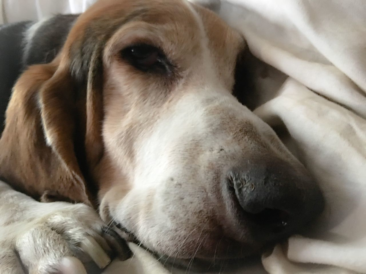 Okay take the picture Mom Patiently Waiting Check This Out Iphonephotography Ilovebassethounds Bassetphotography Livinandlovinlife Bassetmoments Bassetworld Comfy And Cozy Myseniorhound Posing For The Camera Color Photography