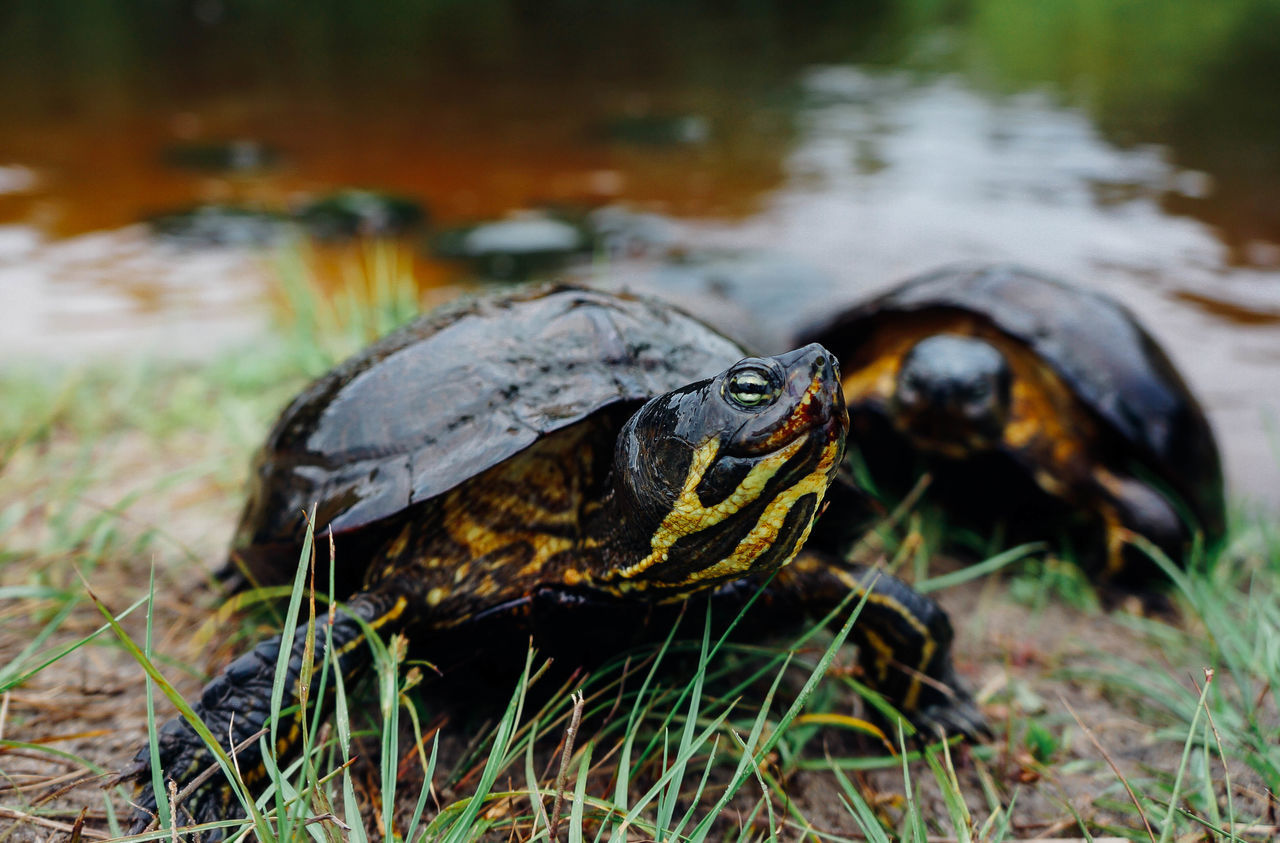 Animal Themes Animal Wildlife Animals In The Wild Close-up Day Nature No People One Animal Outdoors Reptile Sea Turtle Tortoise Tortoise Shell Turtle Water