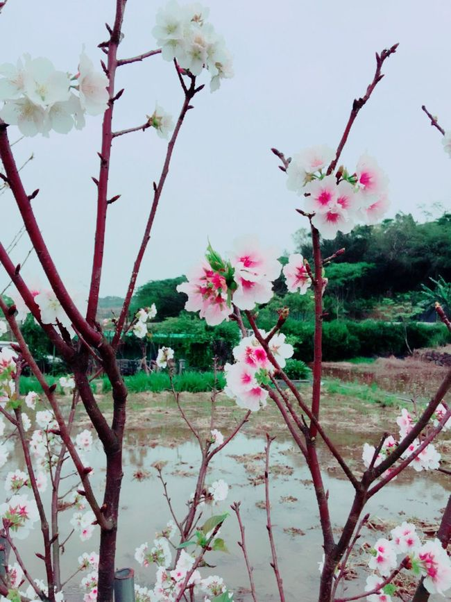 Cherry blossoms in spring春の桜が咲きま。 The View And The Spirit Of Taiwan 台灣景 台灣情