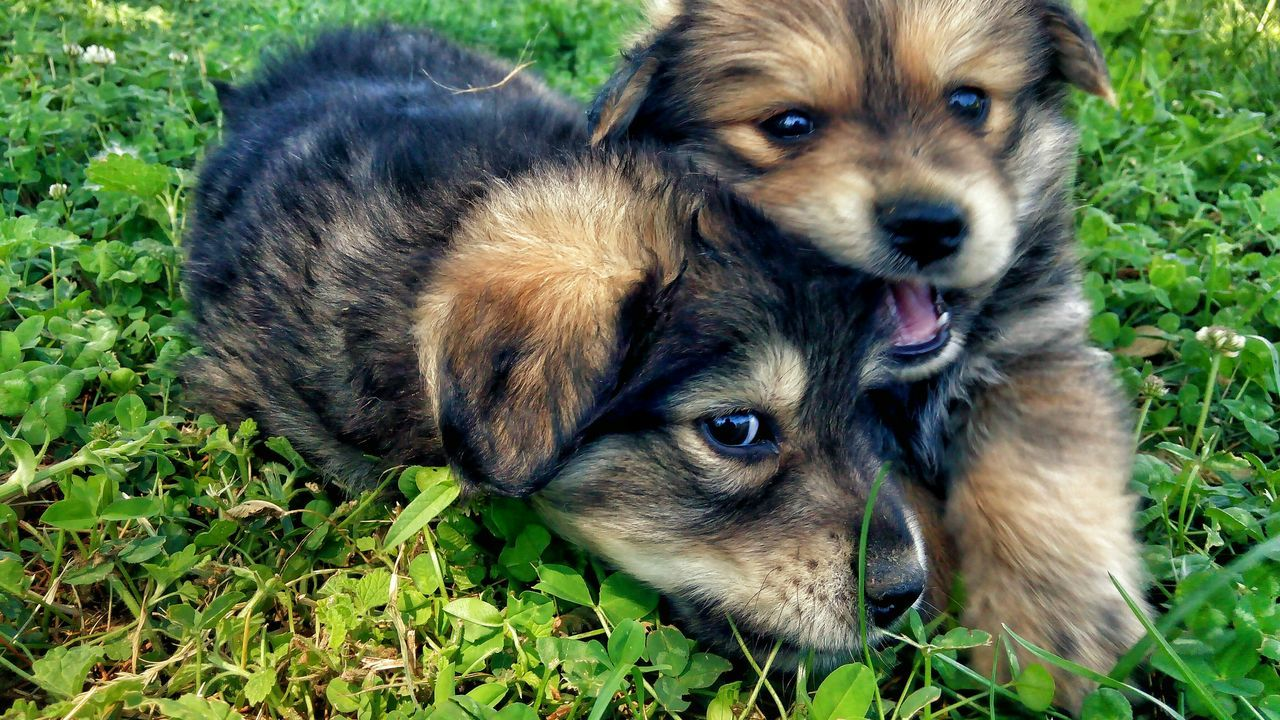 Dog Animal Themes Pets Domestic Animals Looking At Camera Portrait Young Animal Close-up Animal Head  Focus On Foreground Field Loyalty Animal Tongue Animal Eye Day Animal Outdoors Cute Pupies Dogsareawesome Dogs Of EyeEm Dogslife 2016 EyeEm Awards Eyem Photography