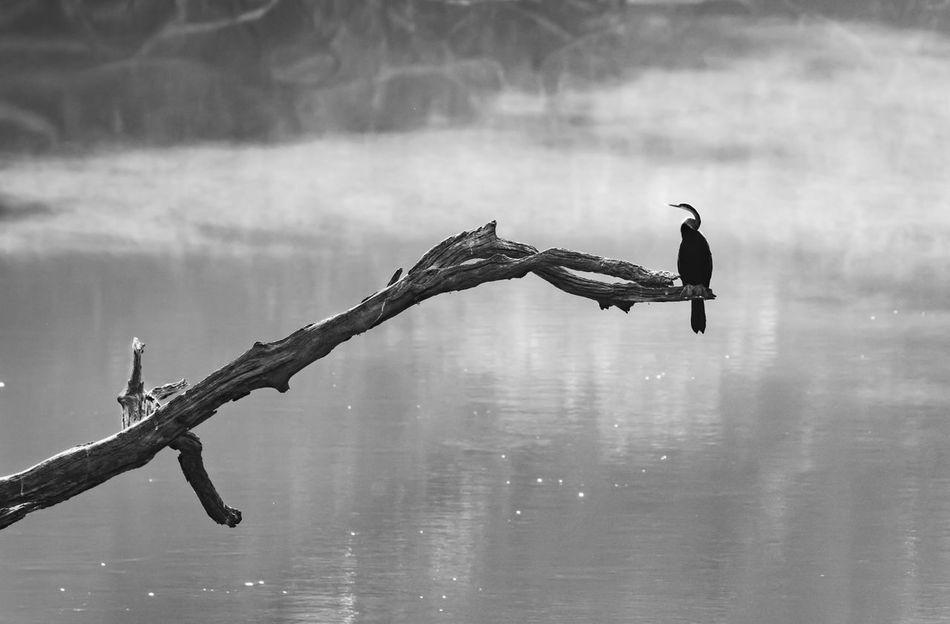 Darter B&W Composition Bird Black & White Blackandwhite Darter Foggy Full Length Monochrome Morning Nature One Animal Outdoors Wild Wildlife Wildlife & Nature