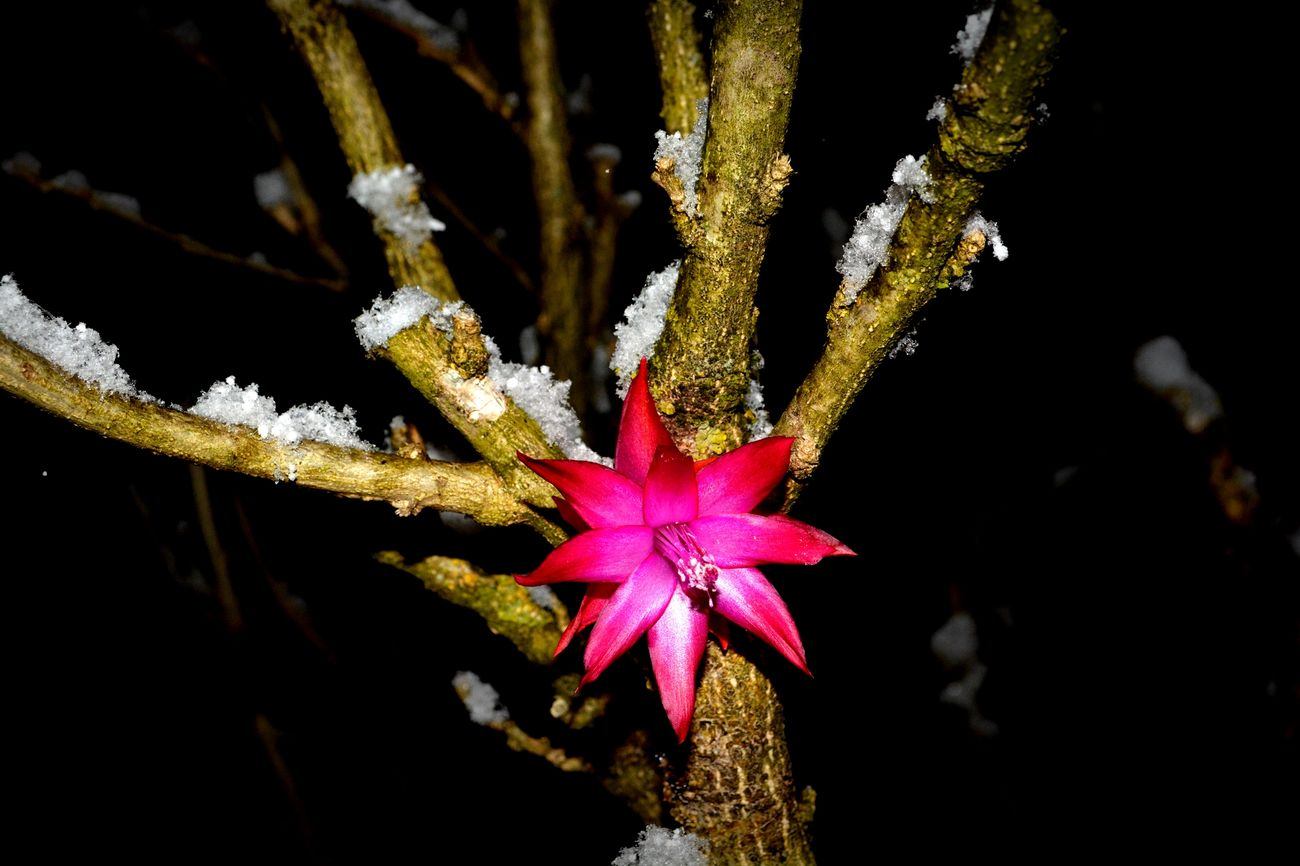 Flower Red Pink Red And Pink Tree Winter Snow Colorfull Colorful Nature Colorful Flowers Cold Black Background Night Nightphotography Outdoors Beauty In Nature Nature Nature Healthy AlpesFrancaises Alpes Montains    17yo 18-55mm D5200nikon
