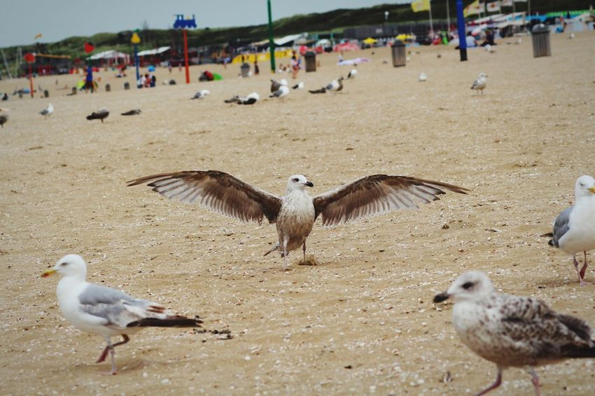 Bird Animal Themes Beach Animals In The Wild Sand Outdoors Day Animal Wildlife Spread Wings Flying Flock Of Birds Seagull Large Group Of People Summer Nature Large Group Of Animals Bird Of Prey Vulture Close-up People Pet Portraits