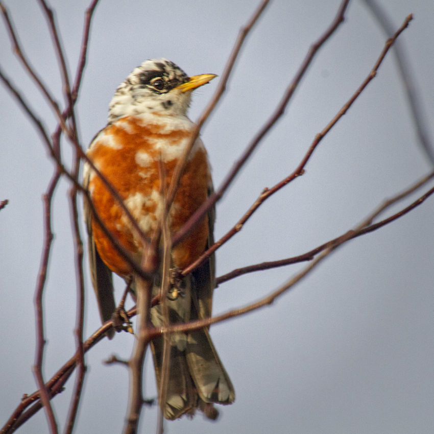 Leucistic American Robin Animal Themes Animals In The Wild Atypical Beauty In Nature Bird Close-up Day Full Length Genetic Leucism Nature No People One Animal Outdoors Perching Side View Variation White Spotted Wildlife