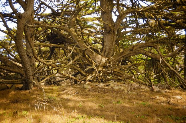 Trees Wood Coast Nature Outdoors Old Old But Awesome Elementary Art Rough Windformed Forest