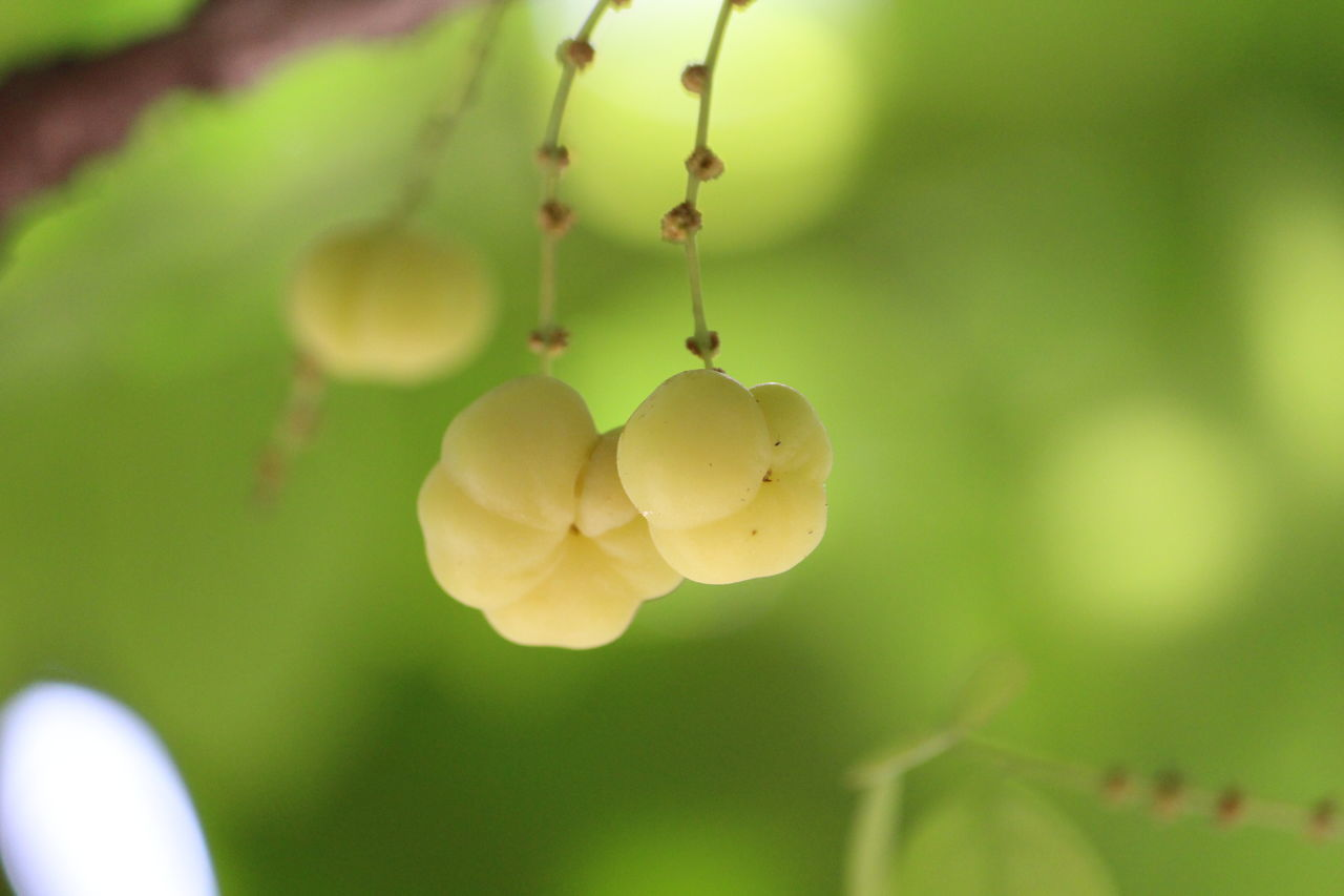 Check This Out Phyllanthus Emblica AMLA Plant Beauty in Nature Photography No People Flowers, Nature And Beauty Beautiful View Taking Pictures Hanging Out April 2016 India