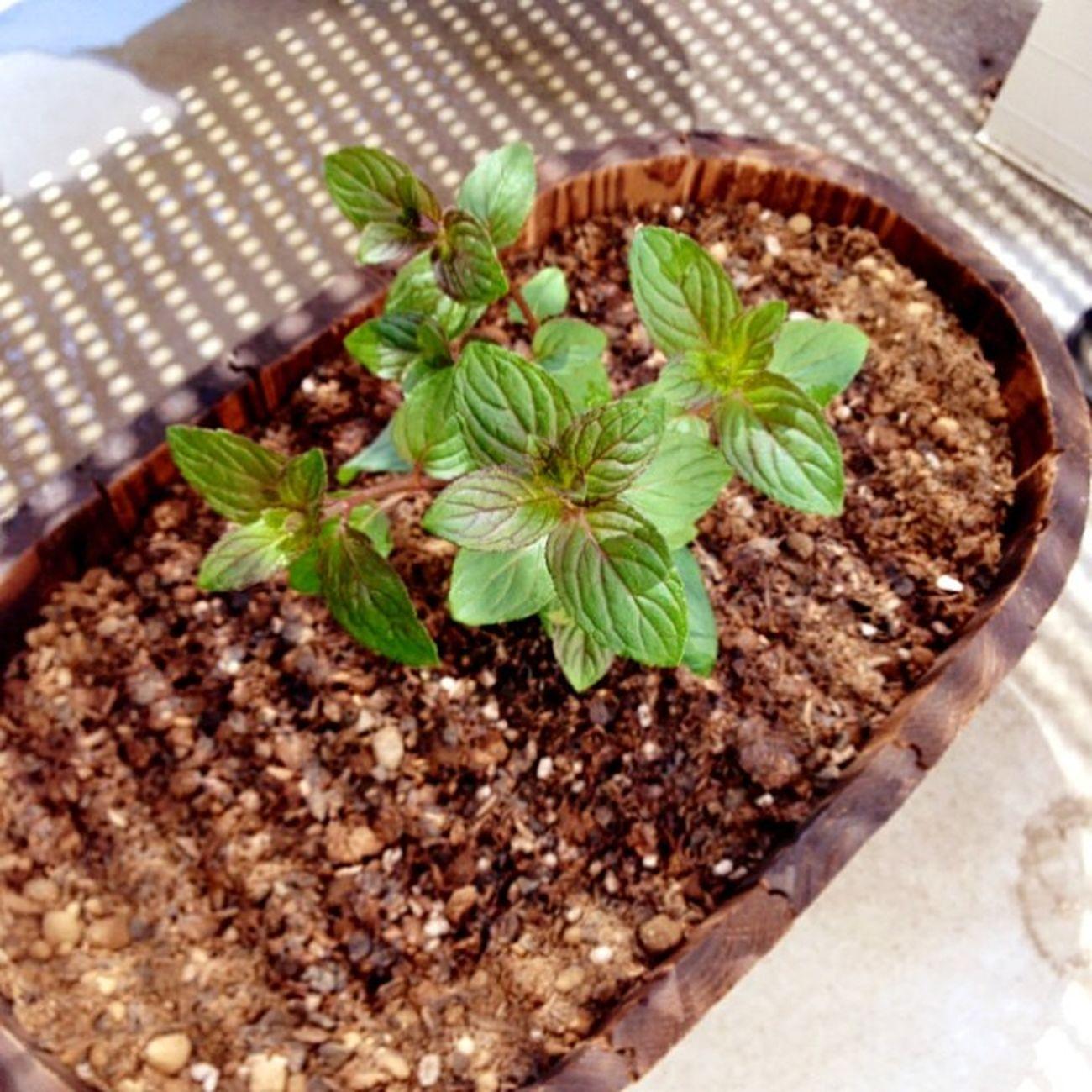 Green Mint ミント Blackpeppermint