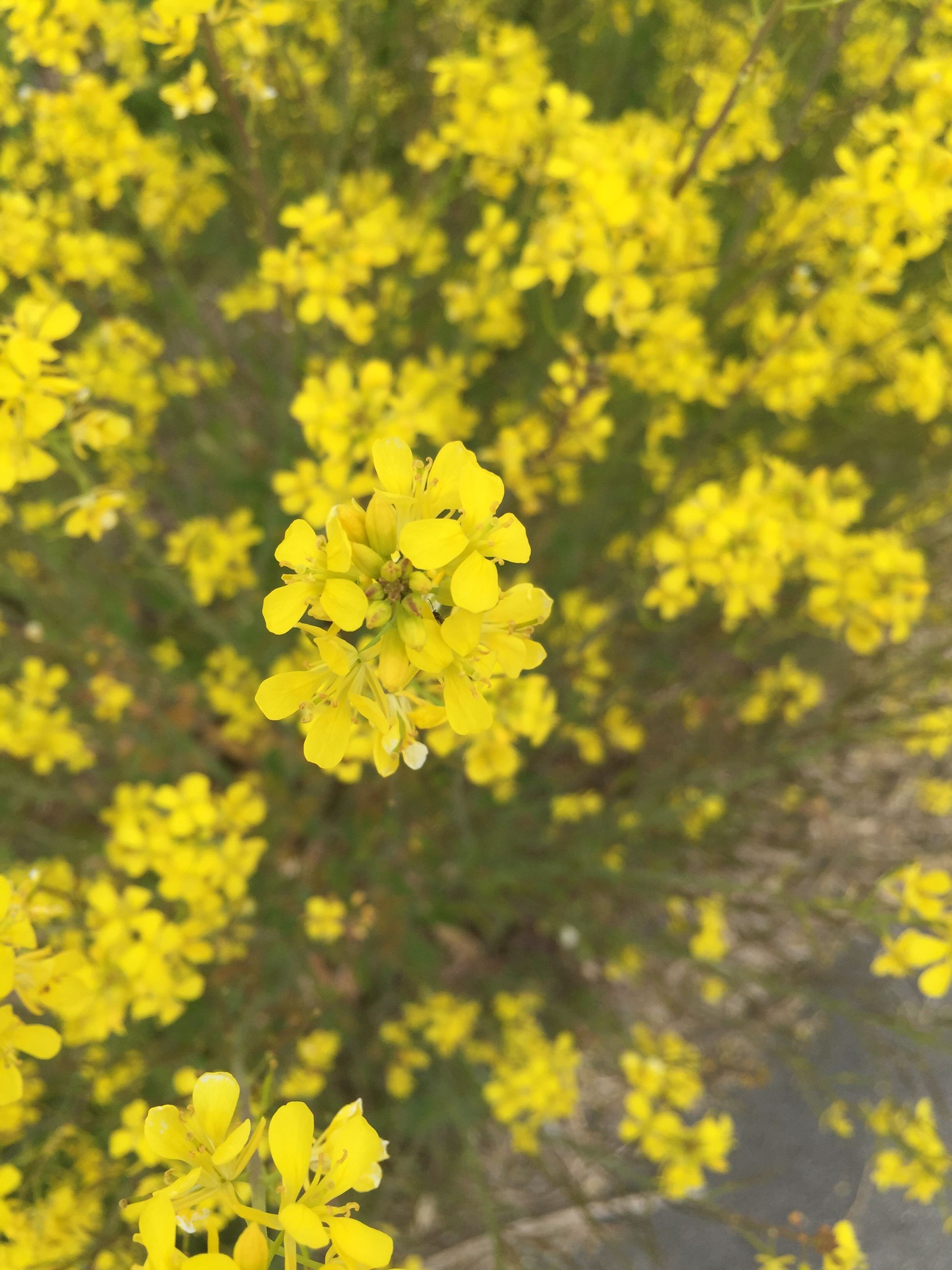 flower, yellow, freshness, fragility, growth, petal, beauty in nature, nature, blooming, flower head, blossom, in bloom, focus on foreground, plant, close-up, springtime, botany, outdoors, field, selective focus