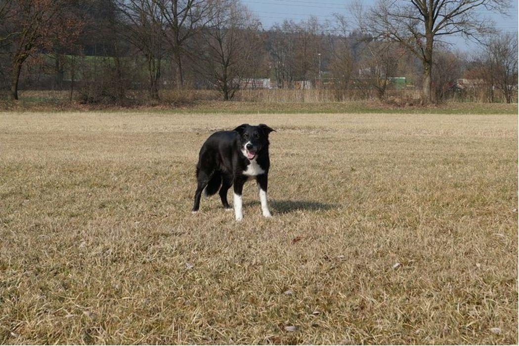 My Dog❤️ Border Collie Old Dog Molly ❤❤