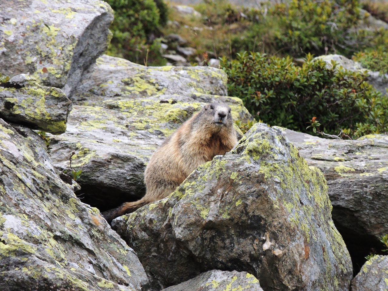 Close-Up Of Marmot On Rock