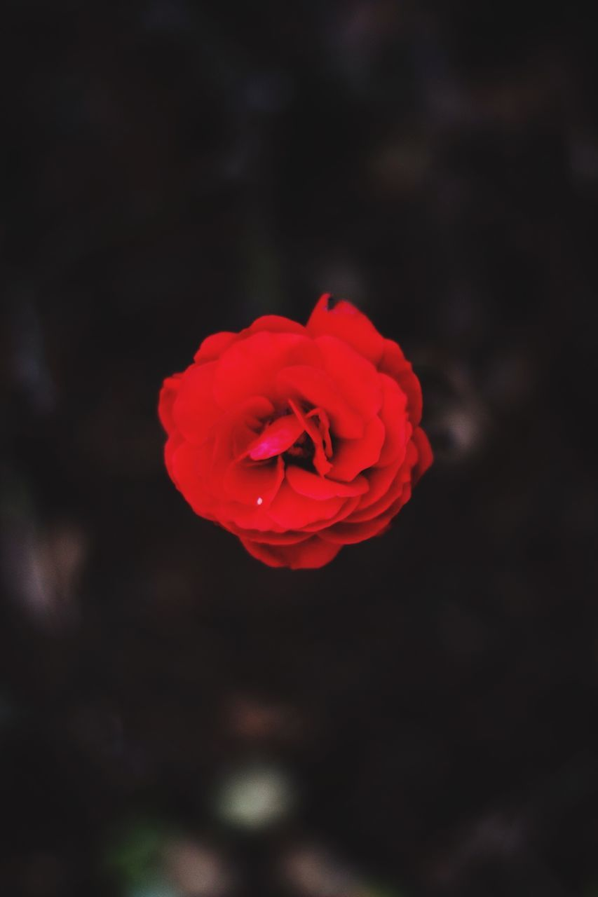 Directly Above Shot Of Red Rose Blooming On Field At Night
