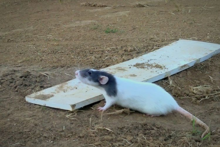 Just little Clary trying to throw a fast one Animal Animal Photography No People Pets I Love My Rat😘 Rat Rats Lol :) Troublemaker Zoology One Animal Animal Themes Baseball Pitchersmound