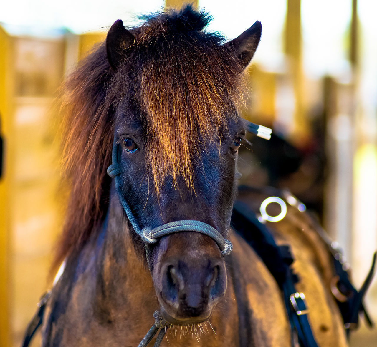 Animal Head  Animal Themes Bridle Brown Close-up Day Domestic Animals Focus On Foreground Herbivorous Horse Horse Portrait Livestock Mammal Mane Mini Bar Attack Mini Horse No People One Animal Outdoors Portrait Working Animal Working Horse
