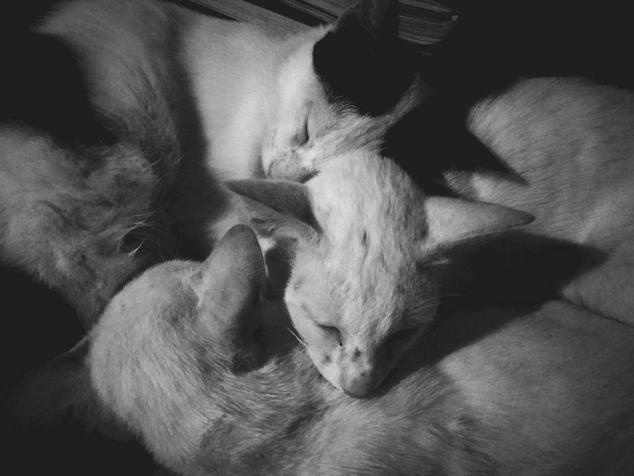 Domestic Animals Pets Three Cats Cats 🐱 Catsleep Catsleeps Catsleeping Cat Photography Cats Sleeping Style Blackandwhite Brothers Mammal Indoors  Animal Themes First Eyeem Photo