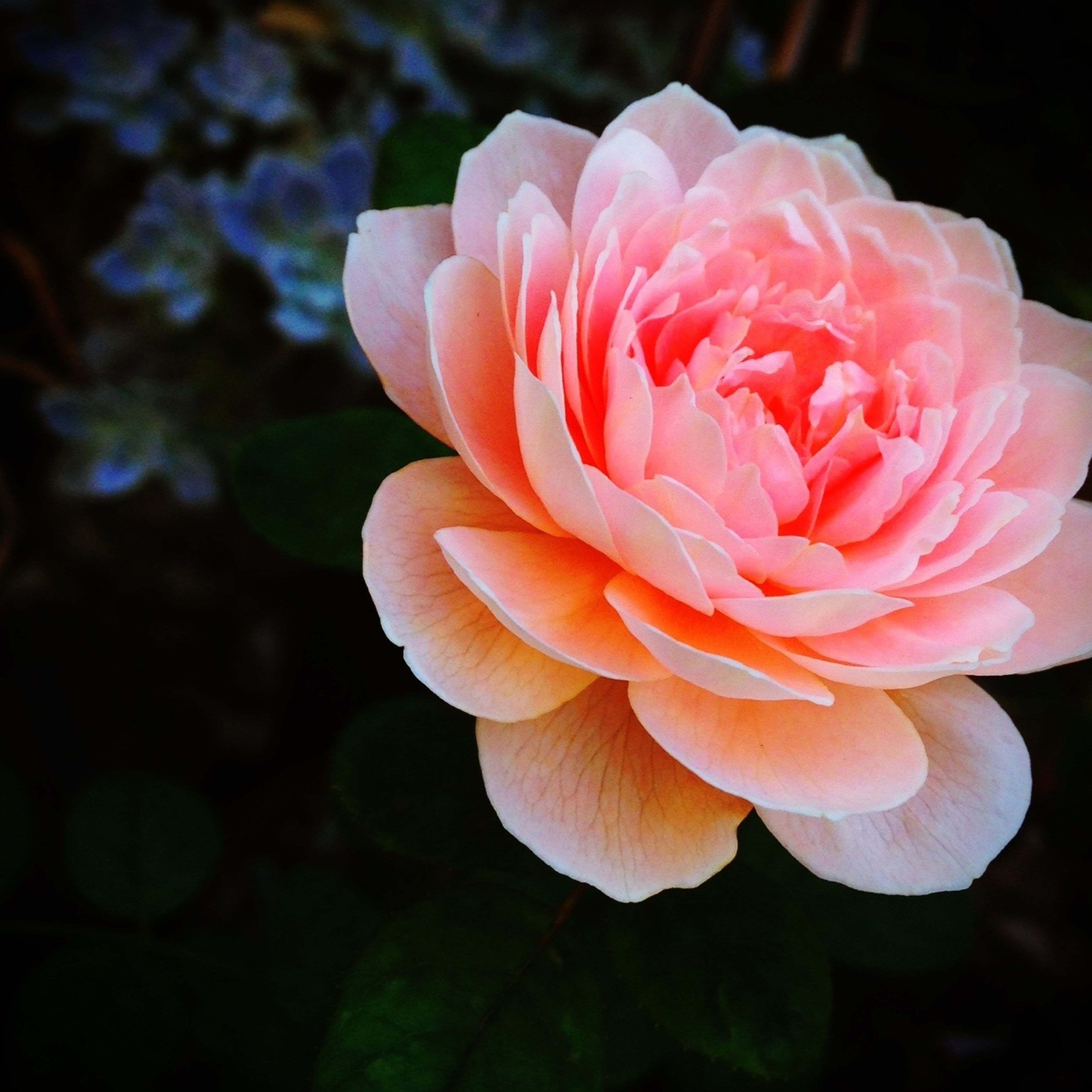 flower, petal, flower head, fragility, freshness, beauty in nature, close-up, growth, blooming, single flower, rose - flower, nature, focus on foreground, in bloom, plant, blossom, no people, park - man made space, outdoors, pink color