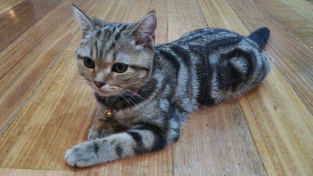 Close-Up Of Kitten Sitting On Hardwood Floor