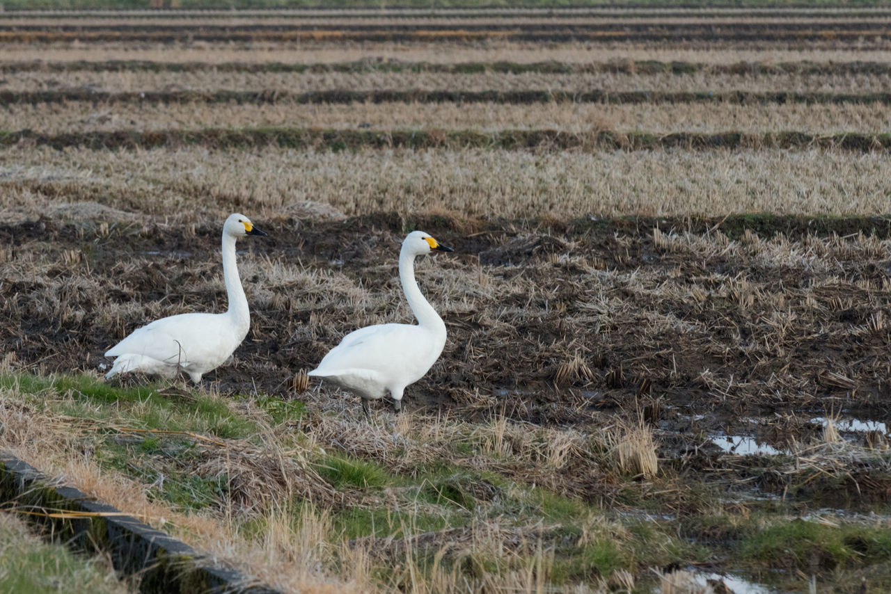 Swans in a rice paddy in winter. Japan. Animal Themes Animal Wildlife Animals In The Wild Beauty In Nature Bird Bird Photography Birds Birds Of EyeEm  Birds_collection Day Field Nature No People Outdoors Swan Swans Swans Of Eyeem Swans ❤ Togetherness