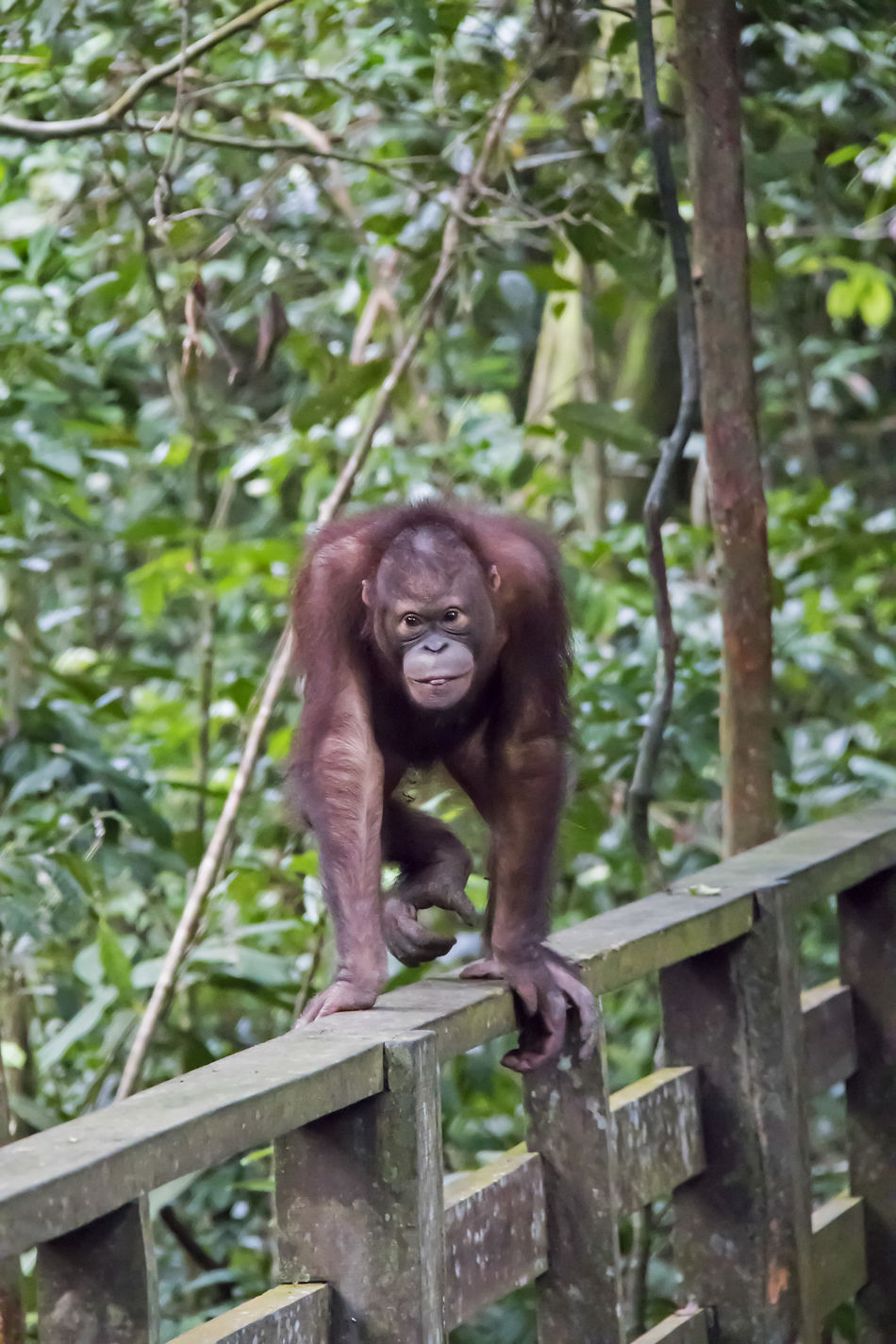 The Bornean orangutan (Pongo pygmaeus) is an endangered species due to habitat loss to Palm Oil Plantations Animal Themes Animal Wildlife Animals In The Wild Day Endangered Animals Endangered Species Mammal Monkey Nature No People One Animal Orangutan Outdoors Tree