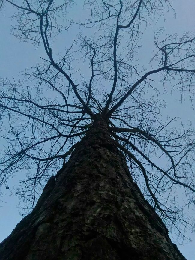 from down below Down Worms Eye View Trees Tree Tree And Sky Tree Silhouette Pinetrees Dried Sky Asus Asus Camera Burnhampark Burnhamparkbaguio Baguio City Baguio City, Philippines Baguio Showcase July Showcasejuly Showcase July 2016
