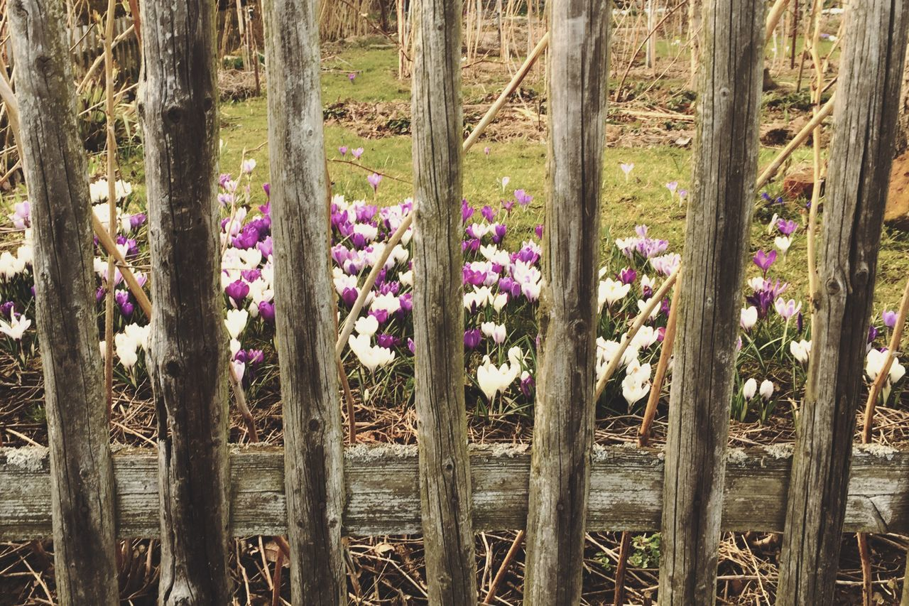 Urban Spring Fever Spring Spring Flowers Flowers Nature Crocus Fence Behindthefence Wood Grass 28 366