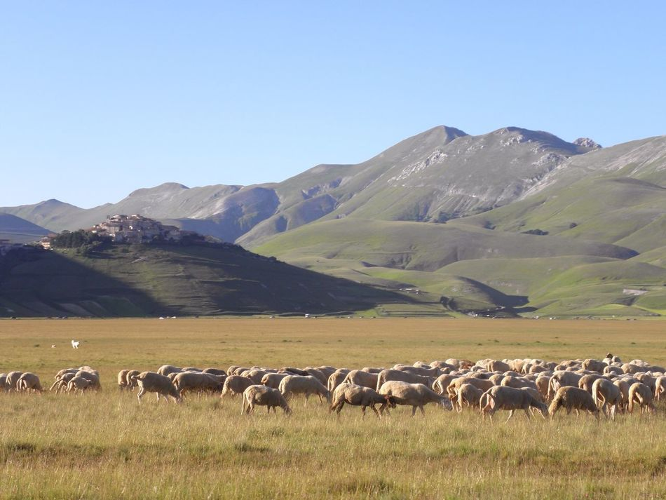 This Village was destroyed by the latest earthquakes 😪💚 Animal Themes Field Clear Sky Mountain Sheep Flock Of Sheep Grazing Miles Away EyeEmNewHere Nature Livestock Grass Large Group Of Animals Pasture Day Outdoors Scenics Beauty In Nature No People Sibillini Castelluccio Di Norcia Plateau