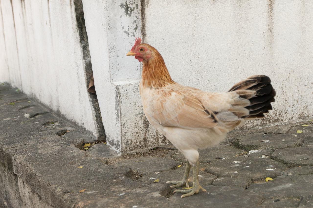 Thai chicken Animal Animal Themes Chicken Concrete Concrete Floor Day Ground Hen Nature One Animal Outdoors Pet Temple Chicken