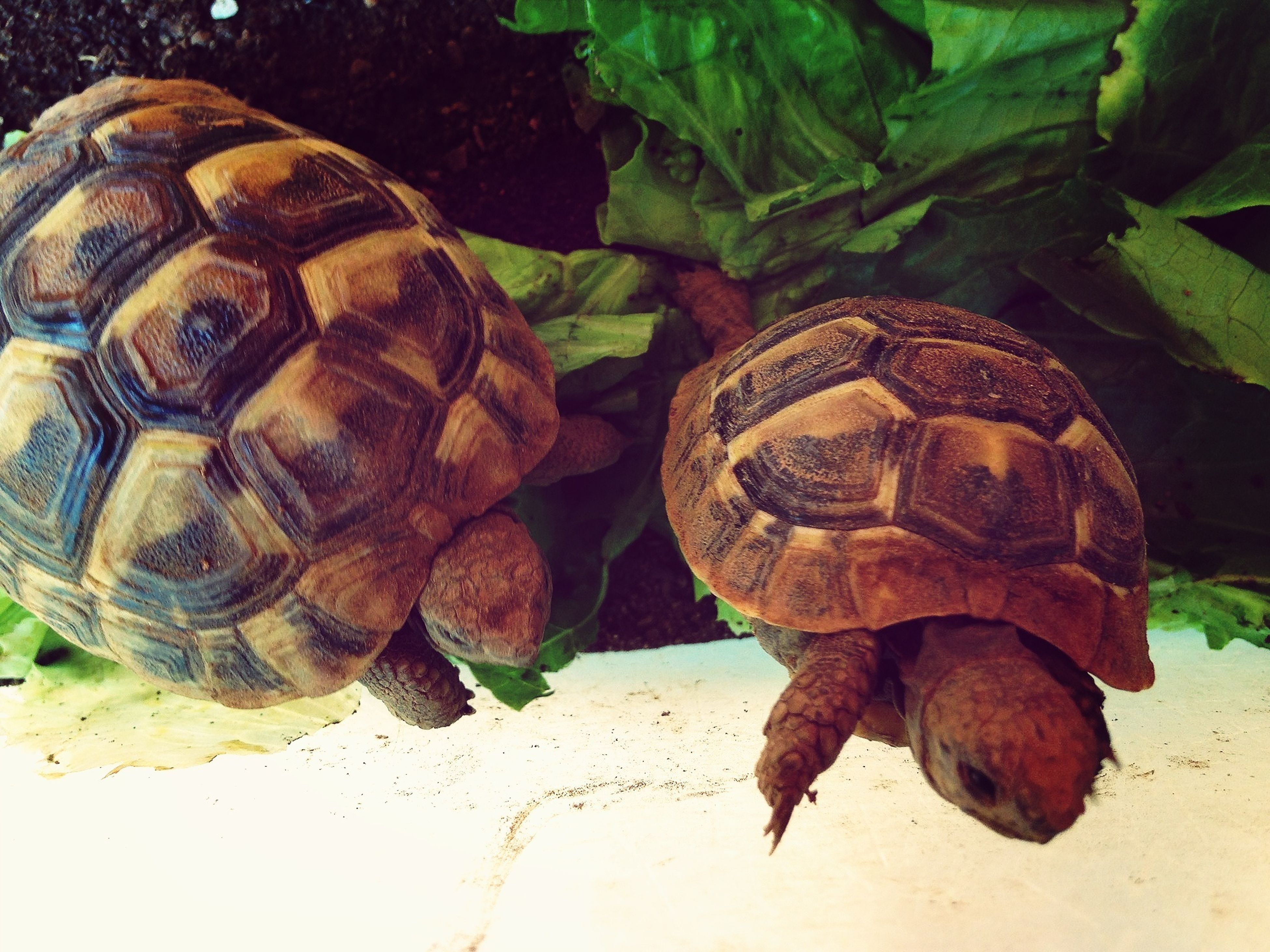 animal themes, animals in the wild, one animal, wildlife, animal shell, close-up, natural pattern, reptile, high angle view, nature, turtle, leaf, outdoors, day, insect, no people, snail, tortoise, animal markings, zoology