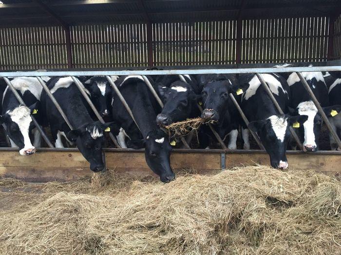 Farmlife West Country Hendo Saturdaynight Dairyfarming Milkfarm Farm Life Farm Animals