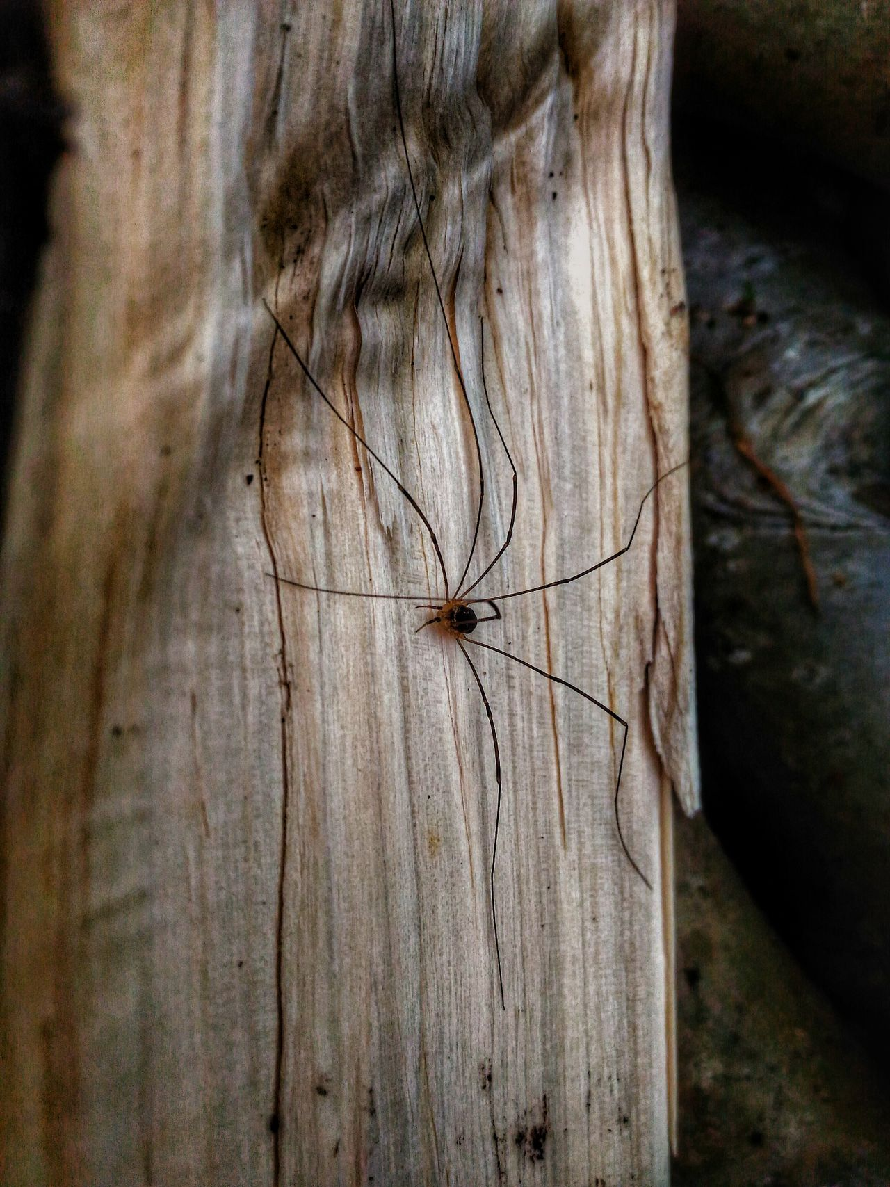 Spider Woodlander паук Zenphotography Ze601kl Mobilephotography