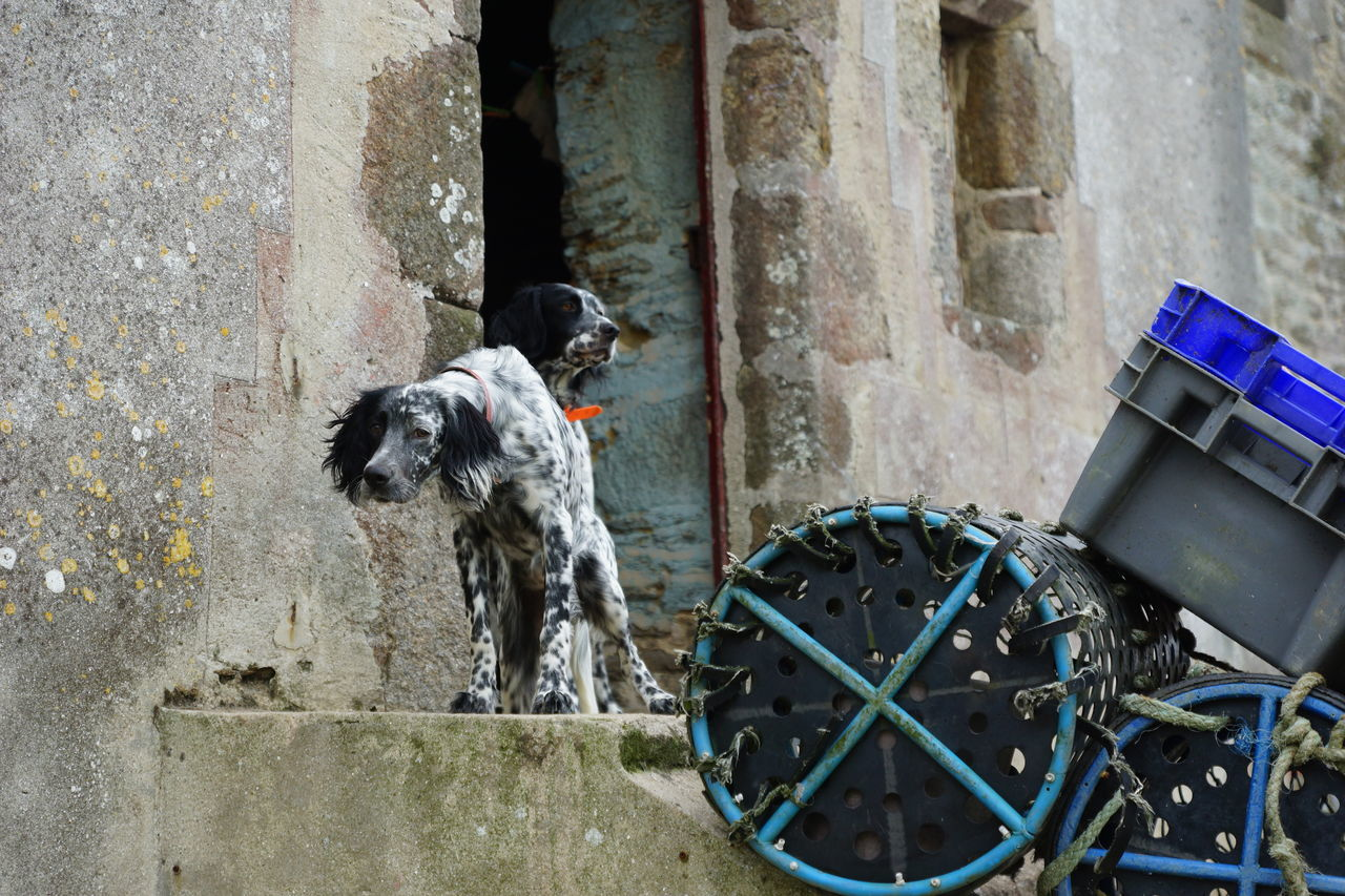The Fisherman's Dog Animal Themes Architecture Attentive Brittany Building Exterior Built Structure Day Dog Domestic Animals Door Façade Fish Trap Fishery  Fishery Village France Guard Dog Le Conquet Mammal No People Old Buildings One Animal Outdoors Pets Watchdog Watching