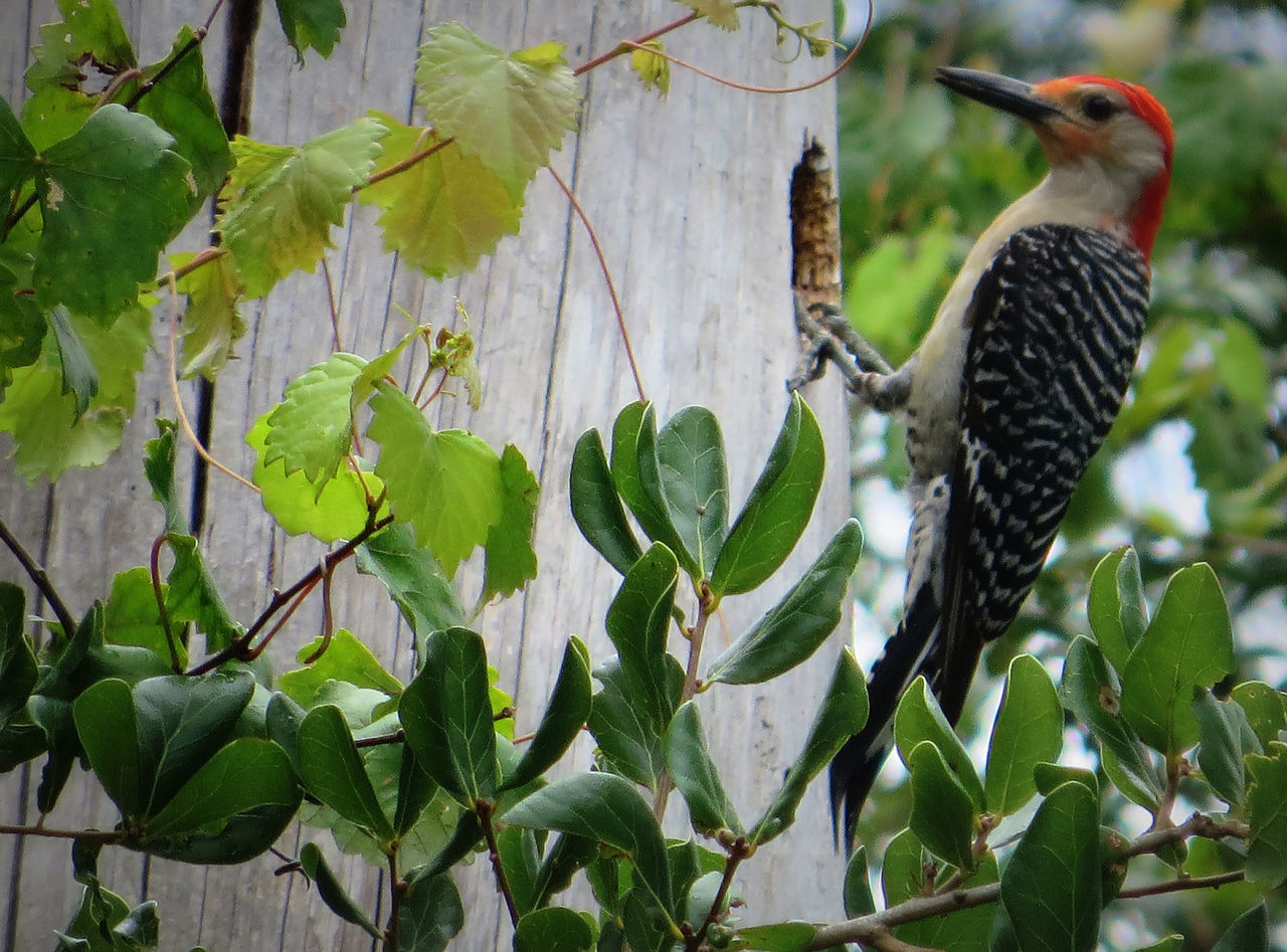 Mr. Woodpecker Working Hard On His New Home. Animal Themes Animal Wildlife Animals In The Wild Beauty In Nature Bird Chipping Away Close-up Day DeBary Florida Growth Leaf Nature No People One Animal Outdoors Perching Plant Red Red Bellied Wood Pecker Red