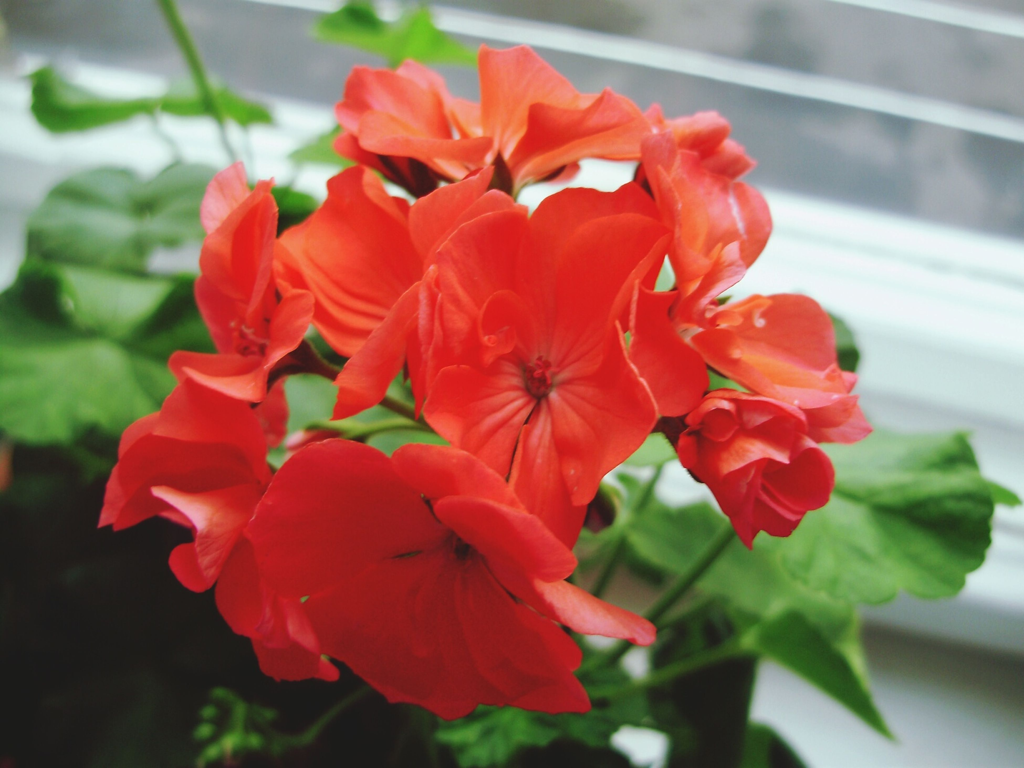 flower, petal, freshness, flower head, fragility, red, growth, beauty in nature, close-up, blooming, plant, focus on foreground, nature, in bloom, orange color, leaf, day, indoors, blossom, no people