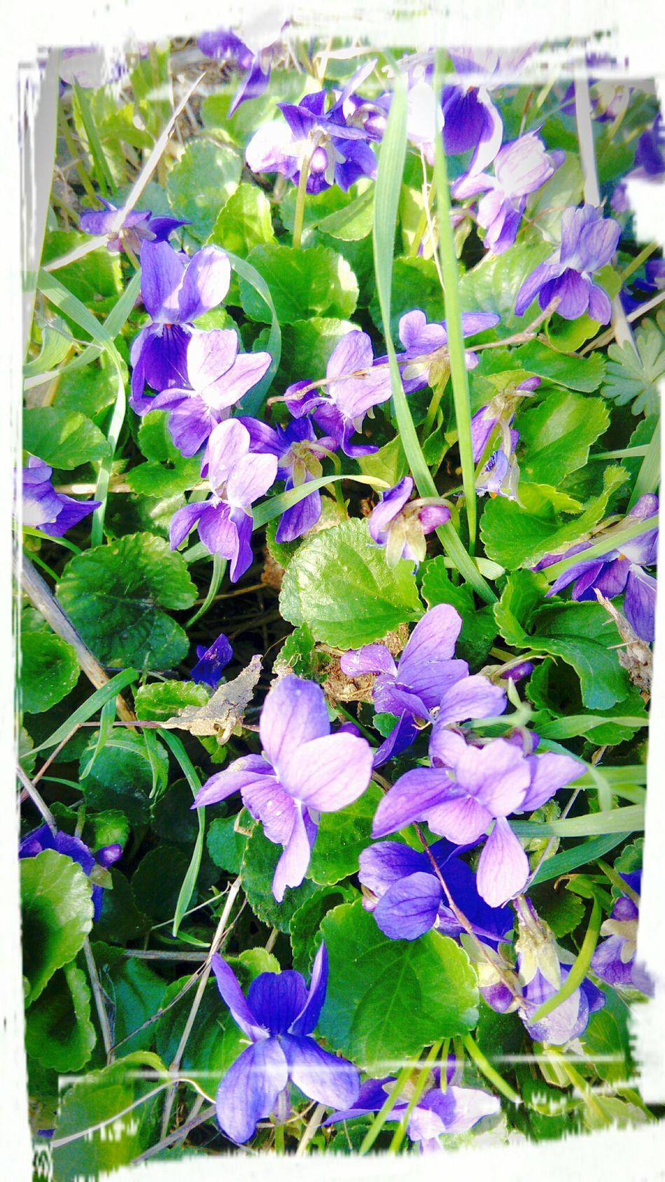 Venez promener votre nez délicat sur ces délicieuses violettes Nature Purple Flower Beauty In Nature Freshness Fragility Flower Head Thinkpositive Naturemakesmehappy Nature Makes Me Smile