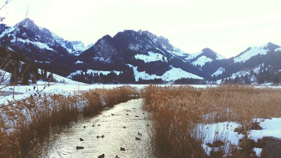 Winter Snow Lake Mountains Nature Duck Switzerland Lac Noir Schwarzsee Windy