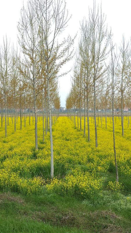 This Belongs To Me Landscape Landscape_Collection Countryside Country Trees Treescape Tree_collection  Fields Fieldscape Yellow Yellow Flowers Yellow Field Nature Nature_collection Nature Photography