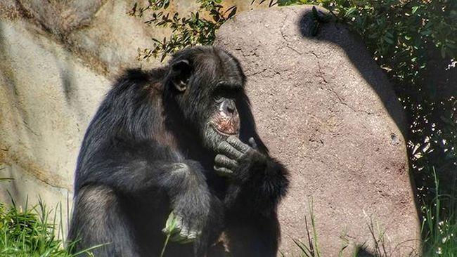 Leipzigerzoo ZooLeipzig Leipzig Iloveleipzig Sogehtsaechsisch Leipzigtravel Leipzigram Leipzigartig Affe Chimp Chimpanzee Ape HDR Hdr_pics Sonycybershothx300 Sonycybershot Sony Snapseed