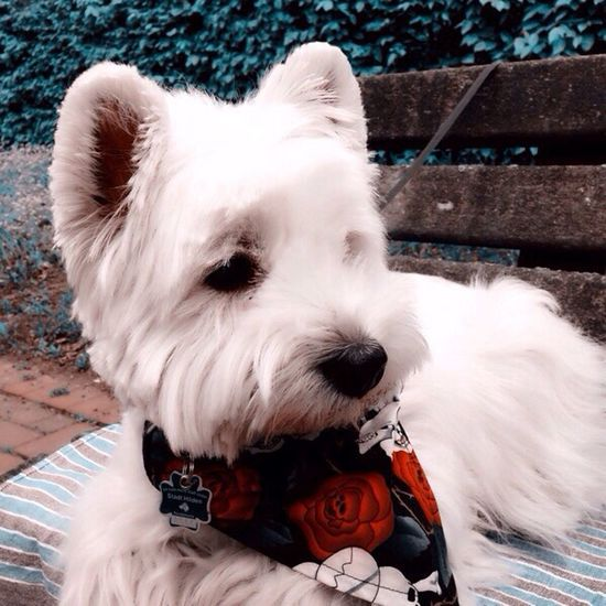Dog One Animal Pets West Highland White Terrier Animal Themes Domestic Animals Outdoors Day No People Cute Close-up Westie dog Snapshot Dogs Of EyeEm Dogs Dogstyle Doglover Pet Portraits