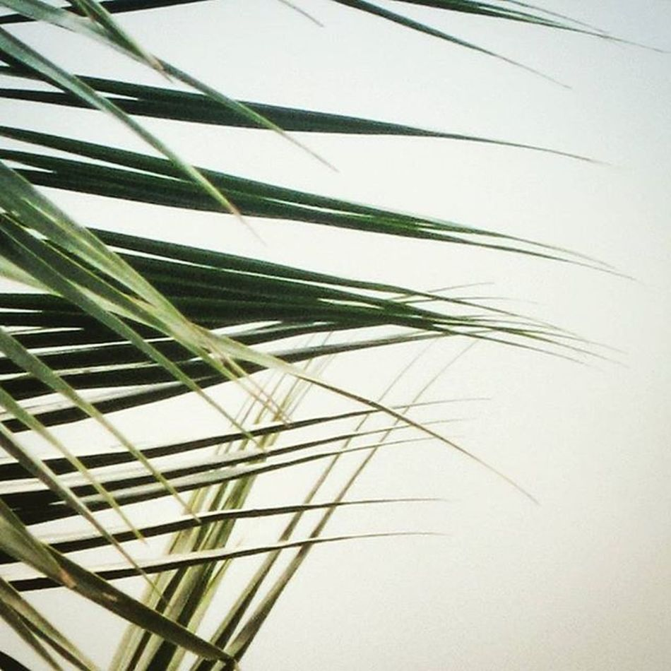 A Natural Vector Scribble Just some Coconut Tree Leaves but I felt it like a Vector Design drew on a white board(Sky ) White Green Shades Bright Drawing Nature Perspective Way To  Look 12MP Canon Insta Perpetura Enhanced Retouch : Sreeni