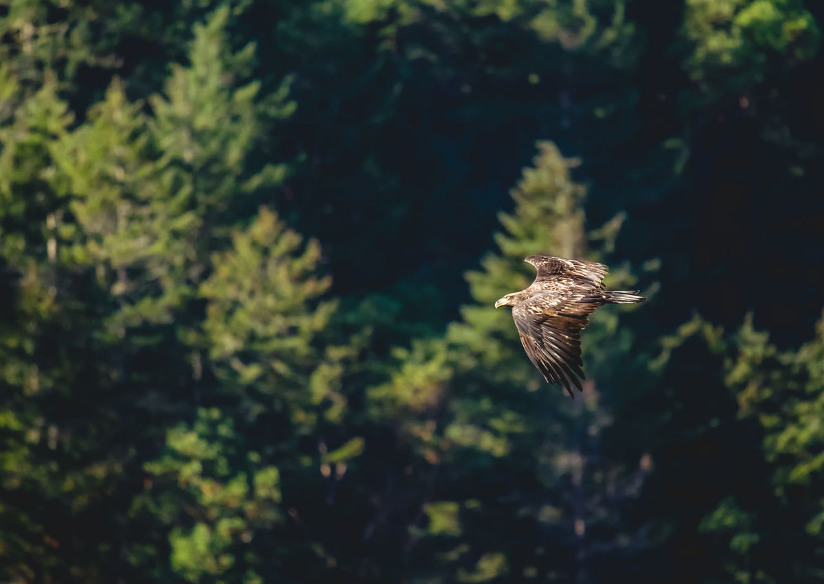 Animal Themes Animal Wildlife Animals In The Wild Bald Eagle Bald Eagles Bird Canada Canopy Day Eagle Flying Focus On Foreground Foilage Forest Great Bear Rainforest Juvenile Lush Foliage Nature No People One Animal Outdoors Spread Wings Summer Sunny Tree