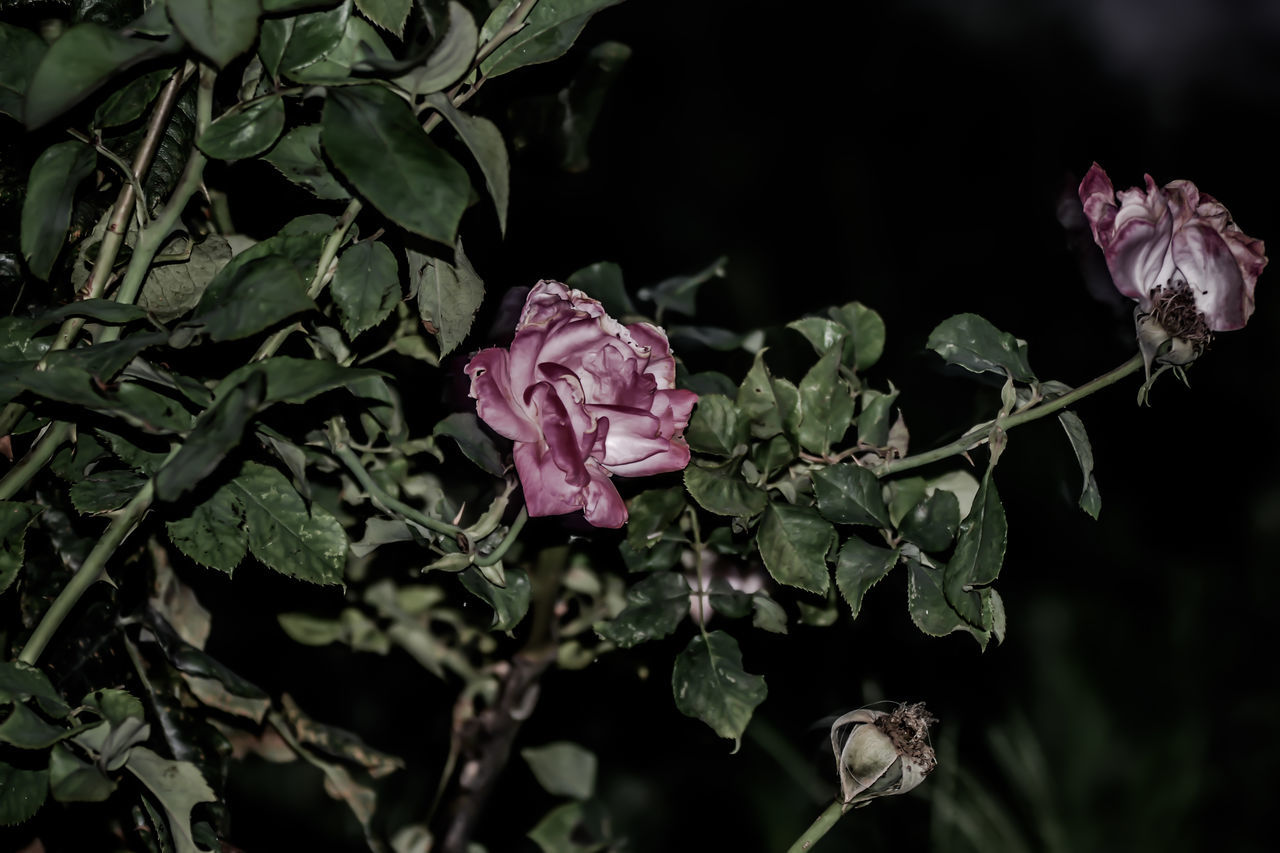 flower, petal, growth, nature, plant, beauty in nature, leaf, fragility, no people, flower head, rose - flower, blooming, freshness, green color, outdoors, close-up, day