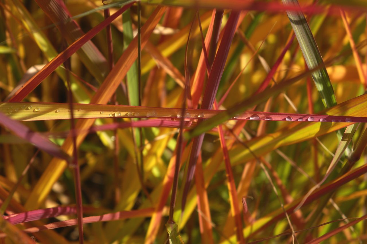 Autumn 1. Miscanthus Sinensis Ornamental Grass Autumn Colours Of Autumn Plant Close-up Water Blade Of Grass Drop Fragility Beauty In Nature Grass Colourful Colour Pop Macro Macro Plants Bokeh Macro Photography Check This Out