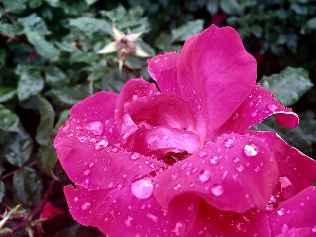 Rainy Day Roses Stay Beautiful Rain Rain Drops Pink Pretty