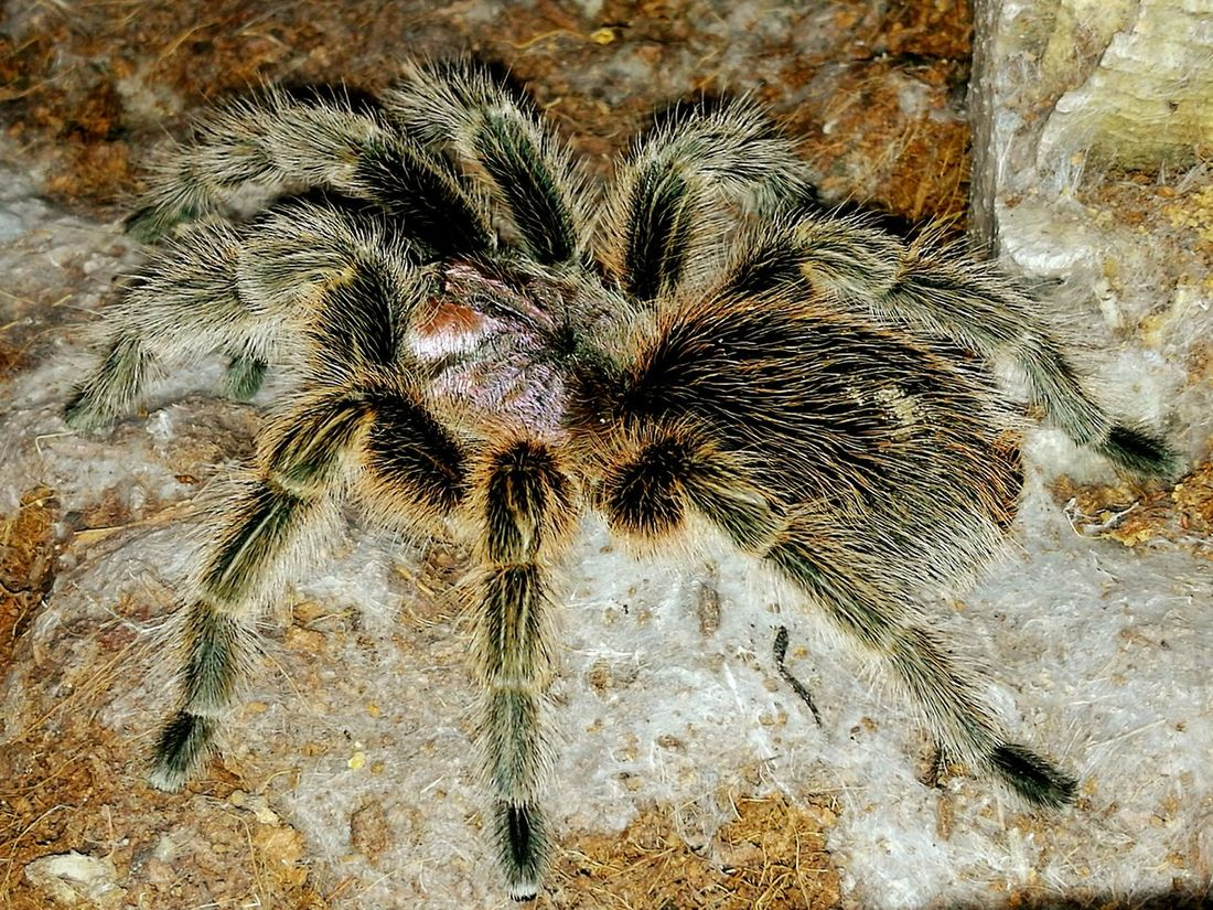 Tarantula Spider Chile Rose Tarantula Bug Arachnid EyeEm Nature Lover