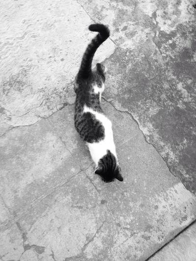 Cat Gato Monochrome Mascot