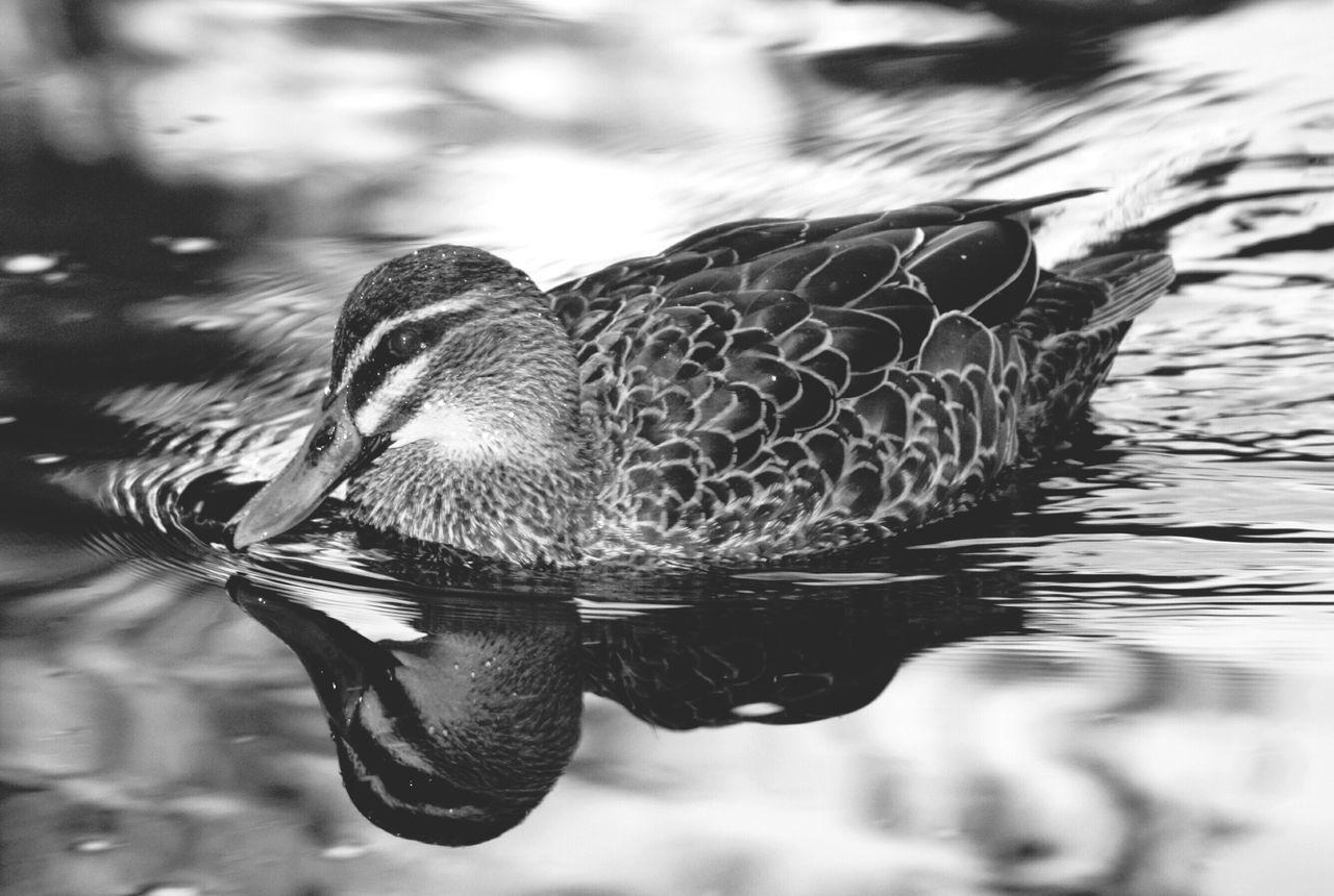 Close-Up Of Mallard Dusk In Lake